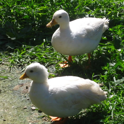 Ducks at Clarks Farm
