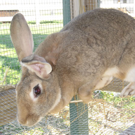 Rabbits at Clarks Farm