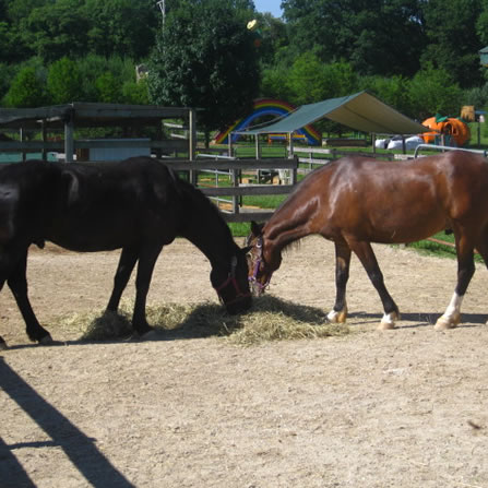 Horses and Ponies at Clarks Farm