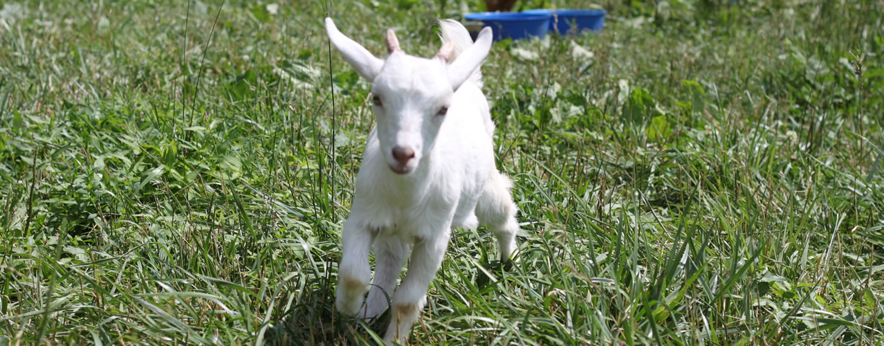 Goat running at the Petting Farm, Clarks Farm