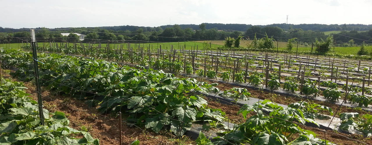 Vegetables growing on Clark's Farm