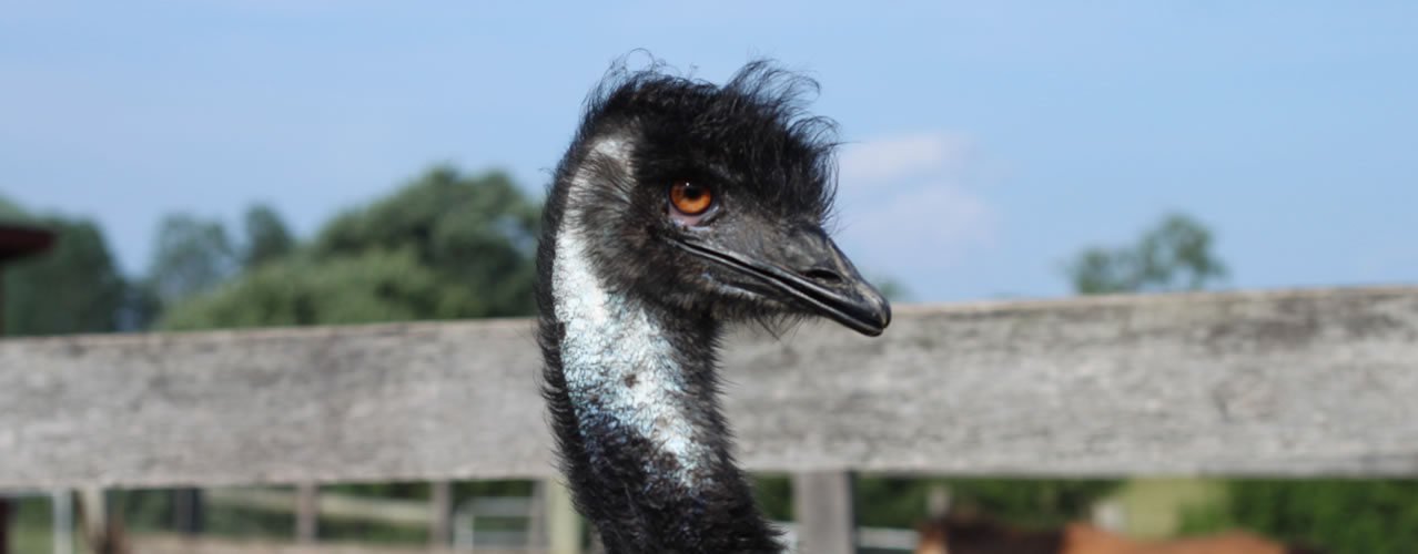 Emu on the farm
